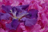 C. Vincent Ferguson - Purple Iris and Pink Azaleas - Digital Image